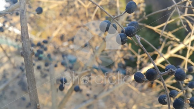 Closeup view of Black mountain ash berries