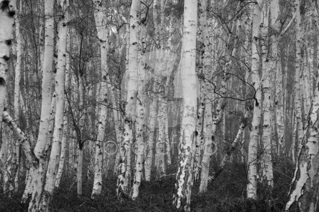 Autumn Silver Birch trees at Holme Fen, Cambridgeshire, England