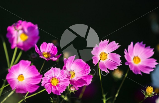 Pink cosmos flower on dark or black background