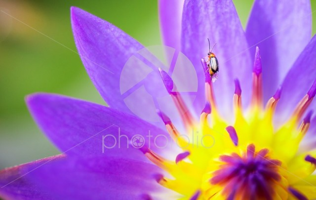Insect on yellow and pink or purple lotus flower in lake of natu