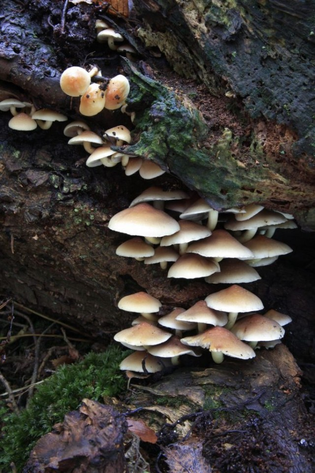 Sulphur Tuft mushrooms, (Hypholoma fasciculare) Holme Fen SSSI
