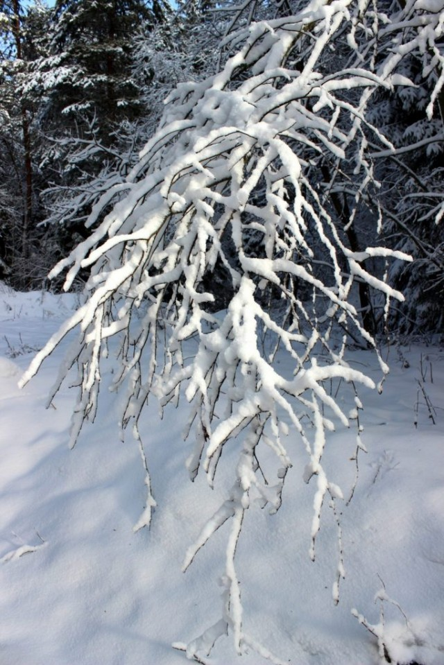 Fully snow covered branch