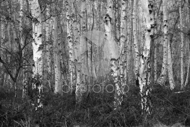 Autumn Silver Birch trees at Holme Fen, Cambridgeshire, England