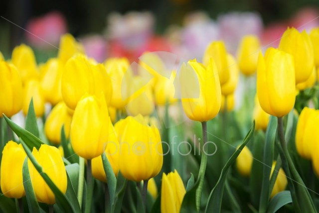 Close up of yellow tulip flower in tulip field with blured background