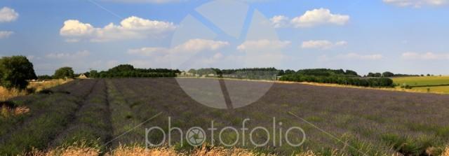 Summer Lavender fields near Snowshill village, Gloucestershire