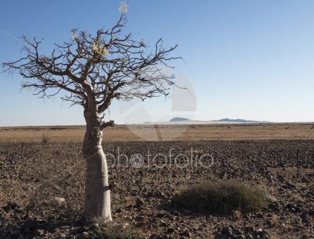 Lonely tree, Namibian desert