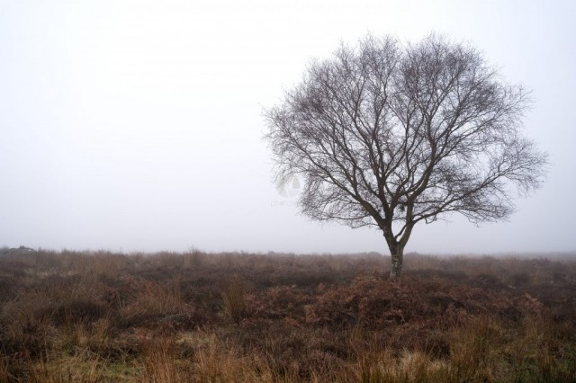 Silver Birch Tree in foggy heather moorland