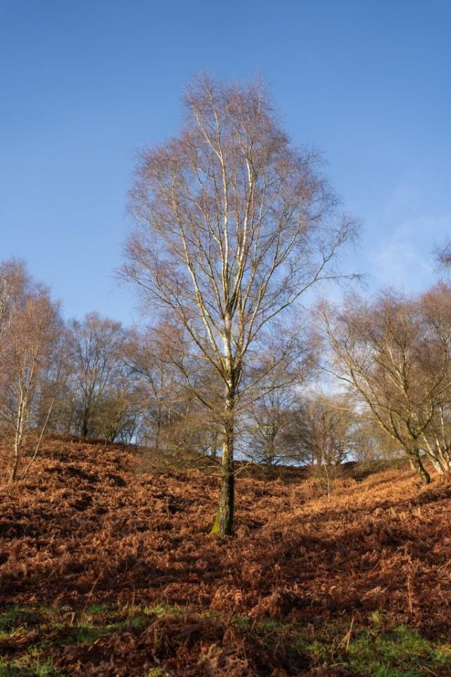 Silver Birch Tree in Woodland