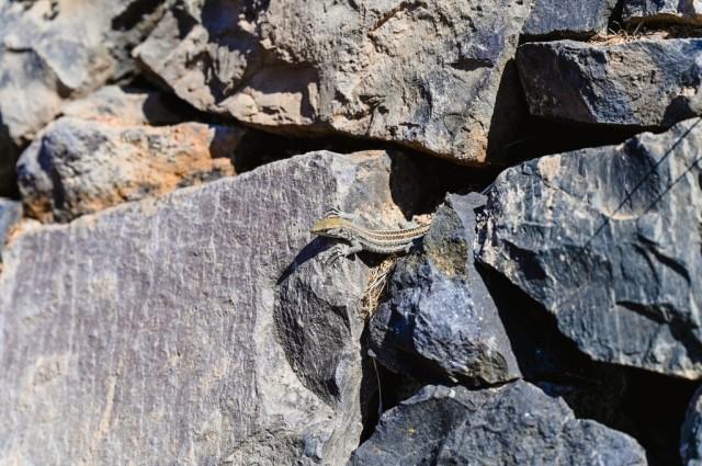 A tiny lizard peeping put of the rocks