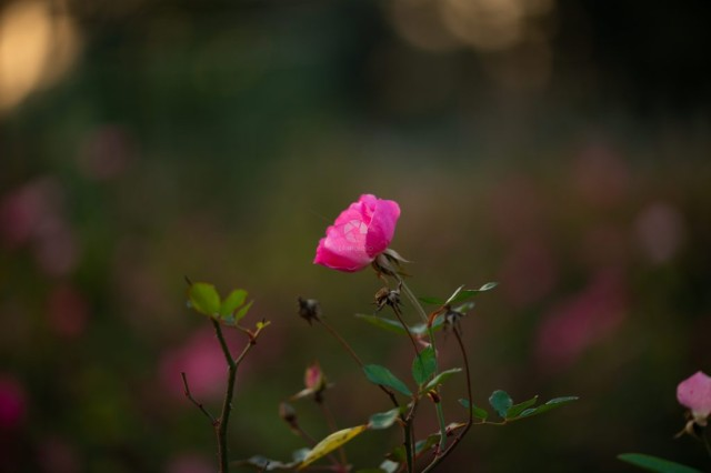 Delicate pink rose in the garden