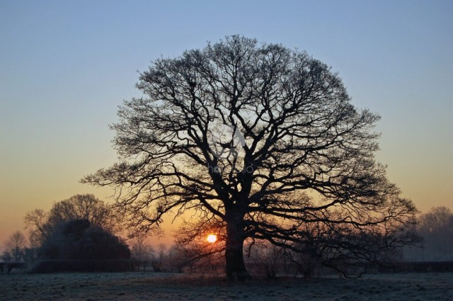 Tree In Field At Sunrise