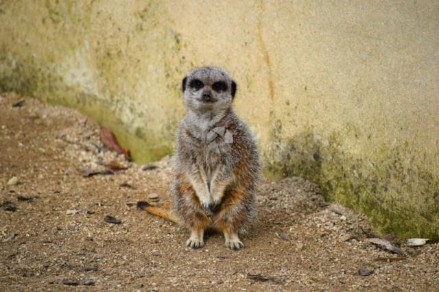 Meerkat peering into the camera