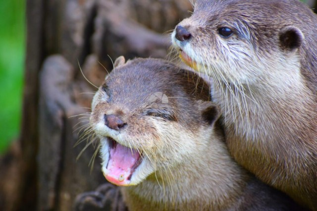 Two tired otters