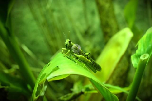 Locust in its habitat