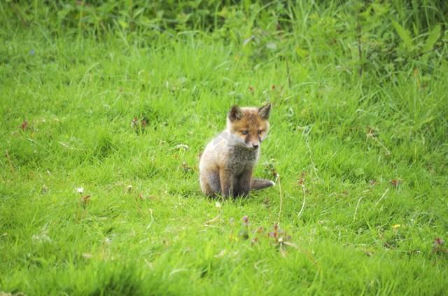 Fox Cub Sitting in Field