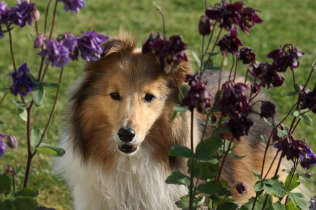 The portrait of an adorable Shetland Sheepdog in a garden