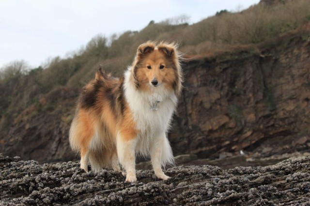 An adorable Shetland Sheepdog standing on a rock