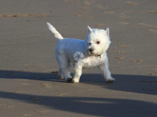 A cute West Highland Terrier on a sandy beach