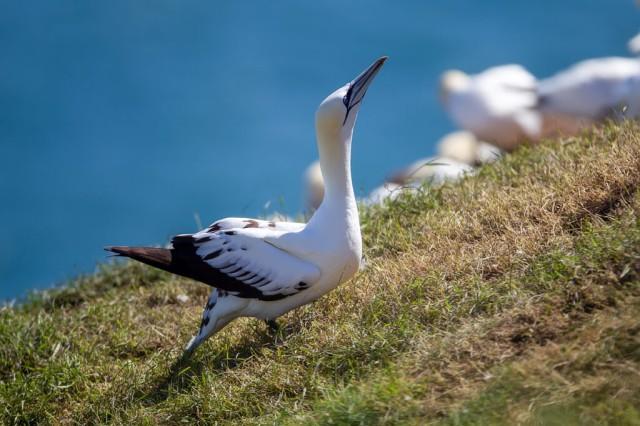 Northern Garnet sat on its nest at Bempton Cliffs North Yorkshire UK