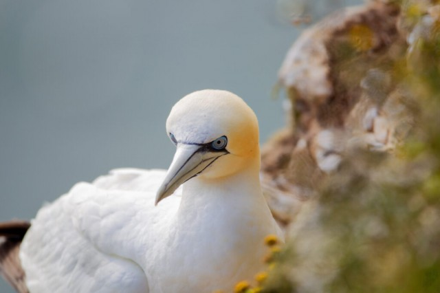 Northern Garnet sat on its nest at Bempton Cliffs North Yorkshire UK