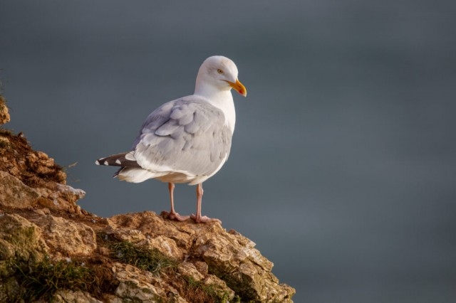 Herring Gull perched on the chalk cliffs at Bempton Cliffs North Yorkshire