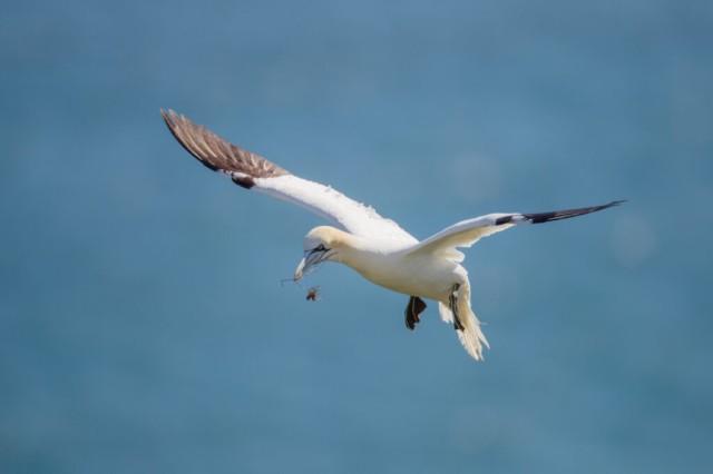 Northern Garnet flying against a blue sky at Bempton Cliffs North Yorkshire UK