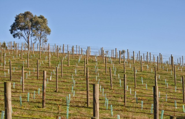 Newly established vineyard in the Yarra Valley Victoria Australia