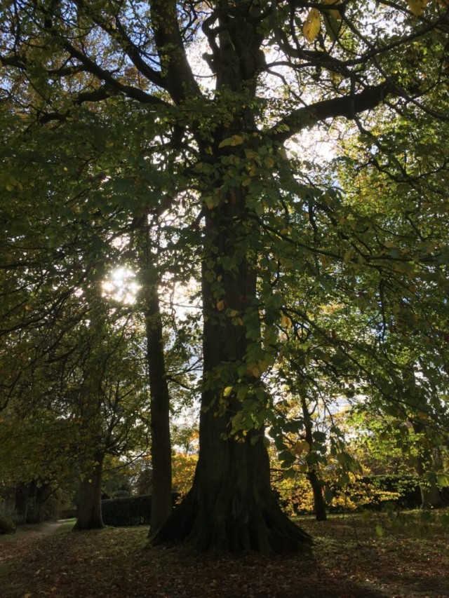 Mighty Oak tree in the last days of summer