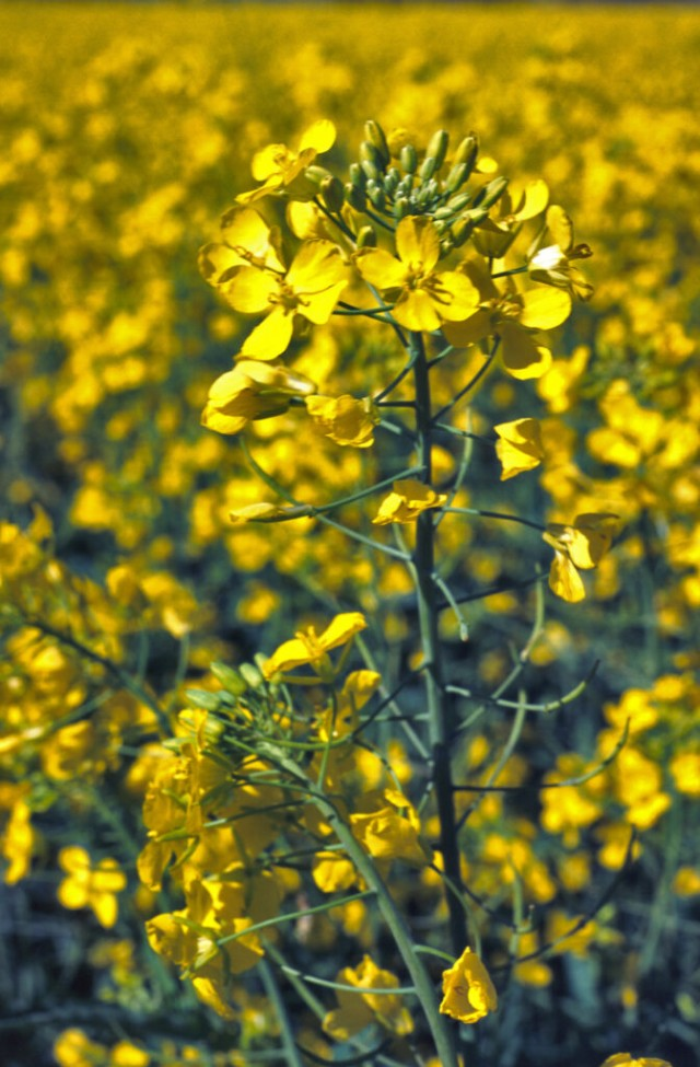 Close up of a canola plant in the field