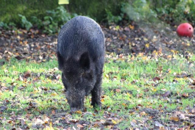 Boar Looking For Lunch