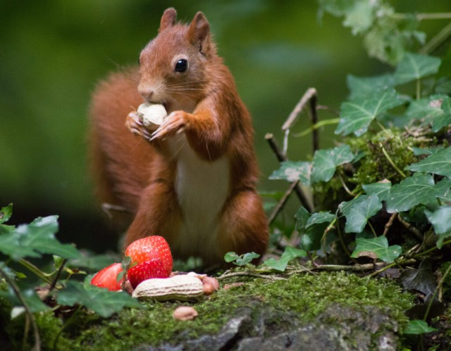 Red squirrel in wood land