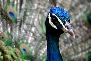 indian peafowl pavo cristatus peacock bird exotic colours