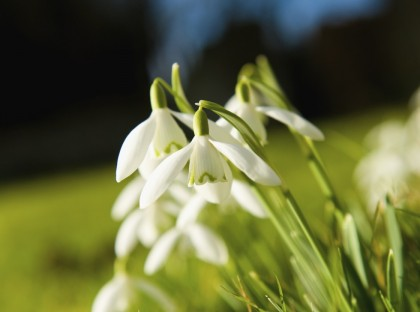 Galanthus a herbaceous perennial in the Amaryllis family. Snowdrops, early spring flowers.