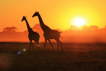 giraffe pair lens flare ps