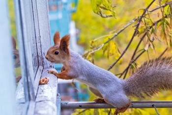 the squirrel looks for to eat and watch on a window