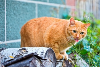 funny ginger cat licking his lips
