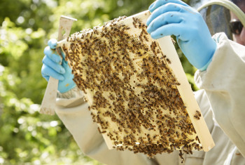 A beekeeper holding a wooden beehive frame covered in bees.