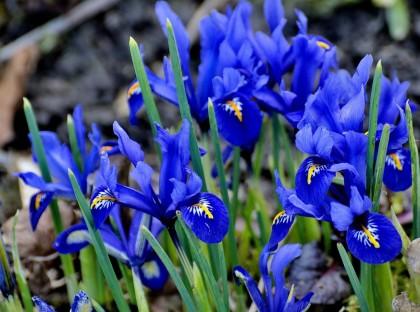 Iris Dwarf Blue PF954