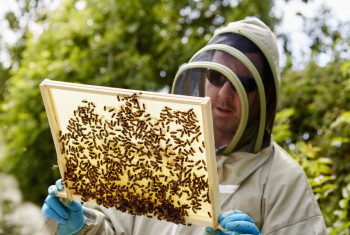 A beekeeper in a suit, holding up a wooden frame covered with bees.