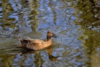 Domestic Duck 020420153 PF1536