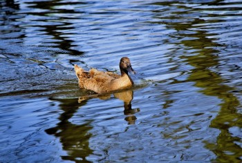 Domestic Duck 02042015 PF1533
