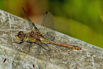 Dragonfly Common Darter 240820143 PF1520