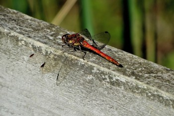 Dragonfly Ruddy Darter 310820142 PF1519