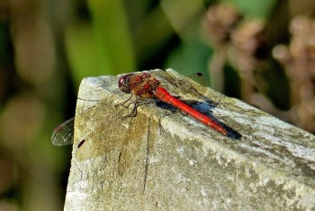 Dragonfly Ruddy Darter 240920142 PF1518