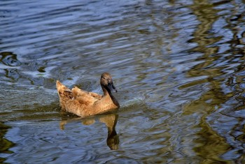 Domestic Duck 020420152 PF1535