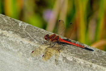 Dragonfly Ruddy Darter 24092014 PF1517