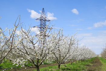 Transmission tower in the flowering plum garden