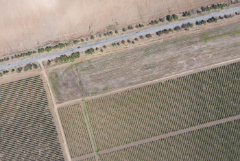 Grape orchards bird's-eye view. Vine rows. Top view of the garden. Highway among the vineyards