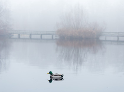Male mallard swimming in pond in misty foggy weather. A pedestri