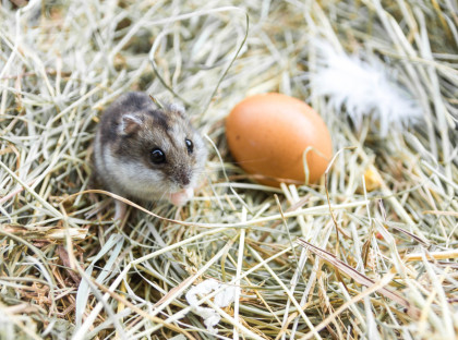 Mouse with chicken eggs on hay. Village composition.
